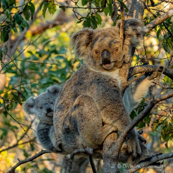 Koala in der freien Natur
